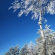 A birch is in a hoarfrost — Stock Photo