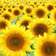 Sunflowers — Stock Photo #3605010
