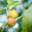 Stock Photo: Fig tree