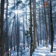 Sun rays in forest — Stock Photo #3608365