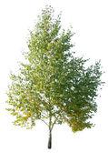 Birch tree — Stock Photo