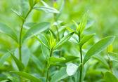 Bush of green tea — Stock Photo