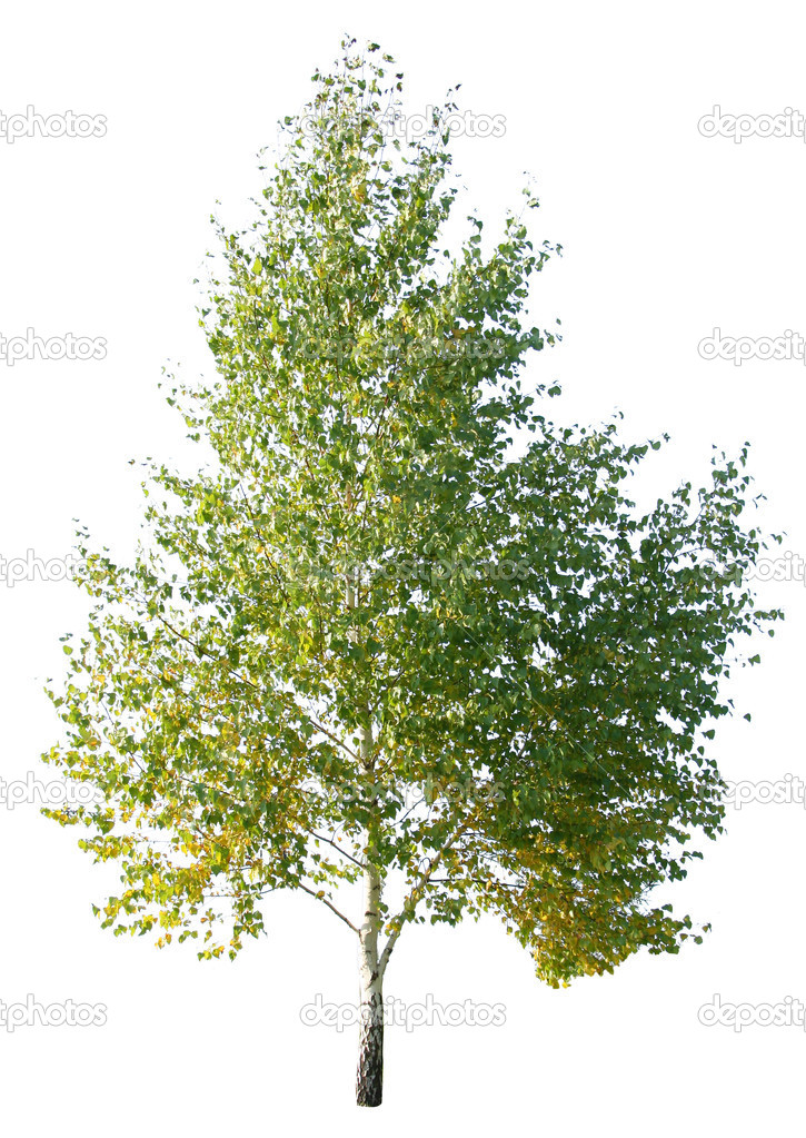 Birch tree isolated on a white — Stock Photo #3602938