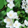 Jusmine shrub in blossom - Foto Stock