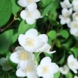 Jusmine shrub in blossom - 