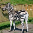 A zebra standing near wooden fence - Stock Photo