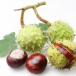 Chestnut on a white background — Stock Photo