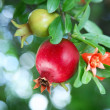 Branch with ripe pomegranate and pomegranate blossoms — Stock Photo
