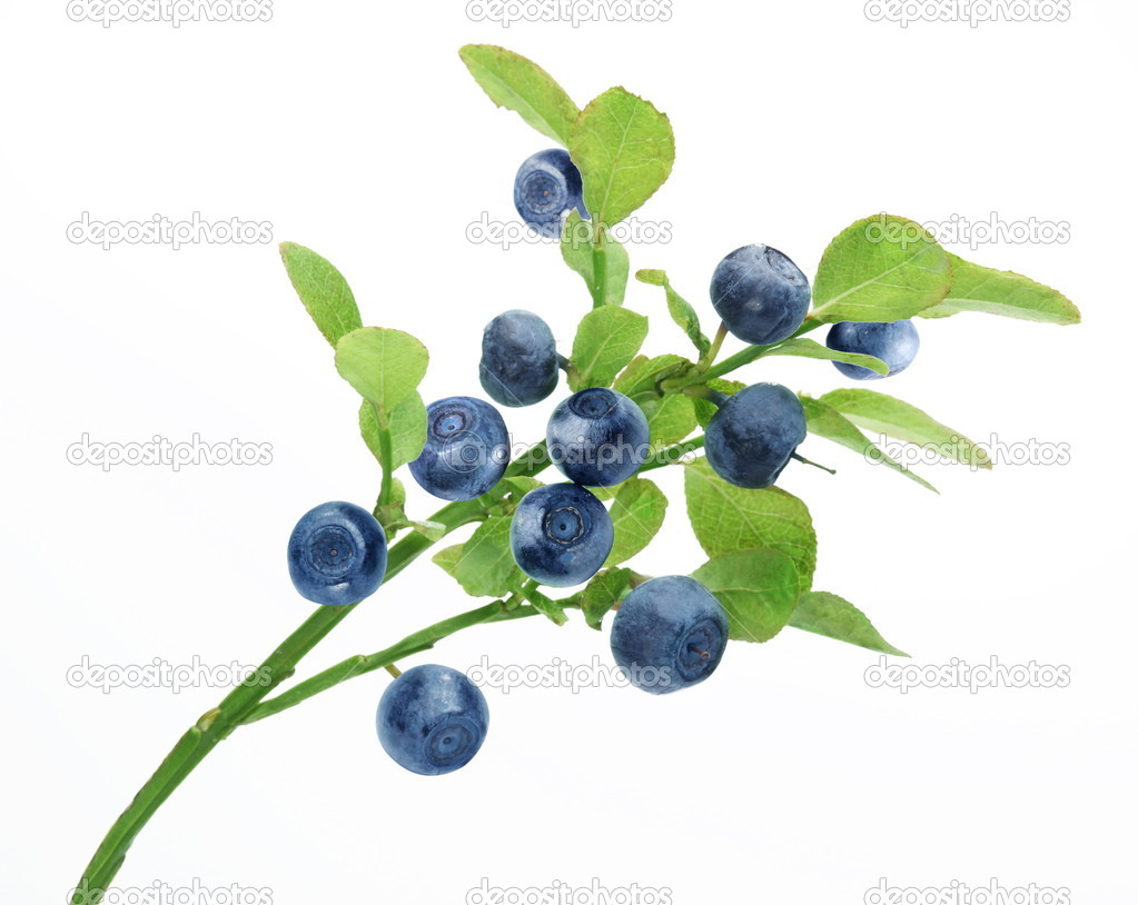 Ripe blueberries on the branch over white. — Foto Stock #3653119