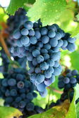 Bunch of blue grapes in a vineyard — Stock Photo