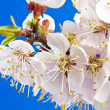 Flowers of apricot - Stock Photo