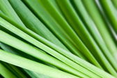 Background of the stems of onion closeup — Stock Photo