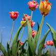 Pretty weird tulips stretch to the sky — Stock Photo