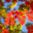 Beautiful scarlet maple leaves in autumn — Stock Photo