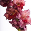 Beautiful red Gladiolus — ストック写真