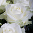 White rose petals close up — Stock Photo