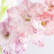 Beautiful pink Gladiolus — 图库照片