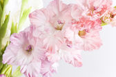 Gladiolo rosa bella — Foto Stock