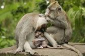 Family of monkeys on island Bali — Stock Photo