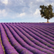 Foto Stock: Lavender field and a lone tree