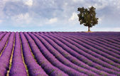 Lavender field and a lone tree — Photo