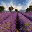 Lavender field in Provence, France - 图库照片