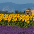 Lavender and sunflower setting in Provence, France - Stockfoto