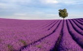 Rich lavender field with a lone tree — Photo