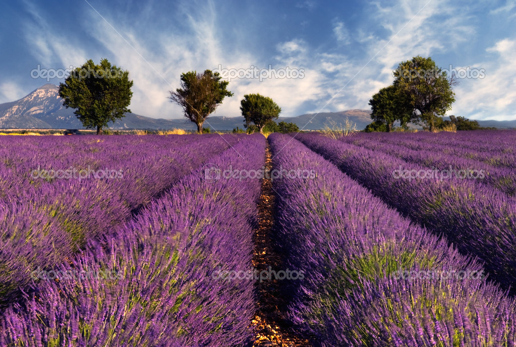 Image shows a lavender field in the region of Provence, southern France, photographed on a windy afternoon — Zdjęcie stockowe #3403368