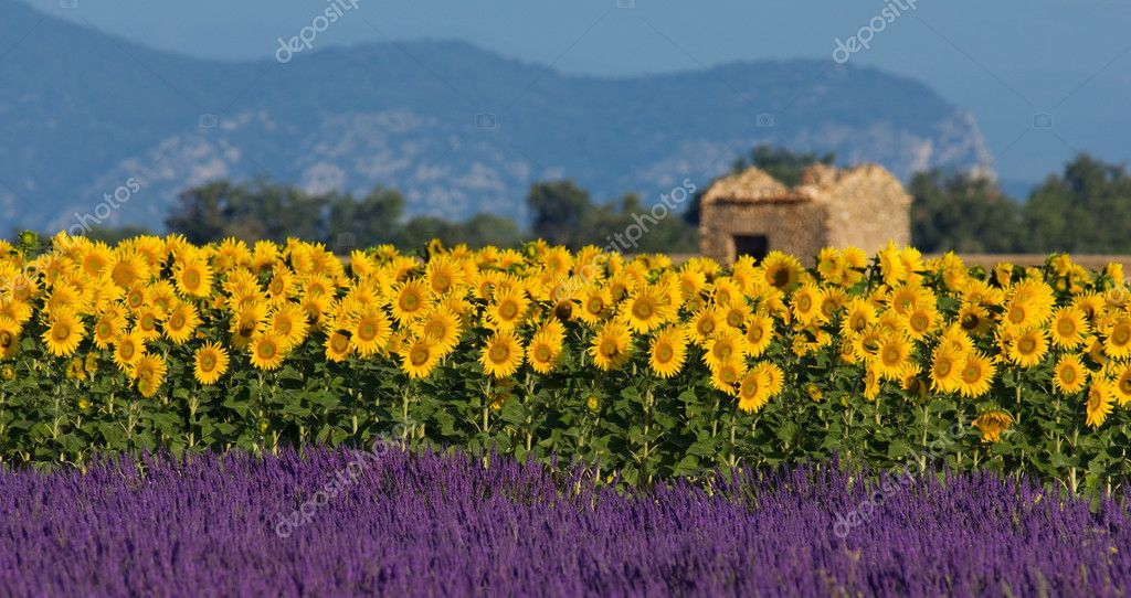 Typical colorful landscape in Provence, France. A sunflower field is combined with a lavender field in the foreground and a neglected barn in the background — Stock Photo #3403799