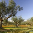 Stock Photo: Olive tree field in Kalamata, Greece