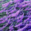 Lavender flowers — Stock Photo #3410729