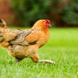 Stock Photo: Hen on move