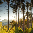 Tall pine trees at dawn - Stock Photo