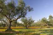 Olive tree field in Kalamata, Greece — Stock Photo