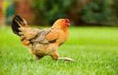 Hen on the move — Stock Photo