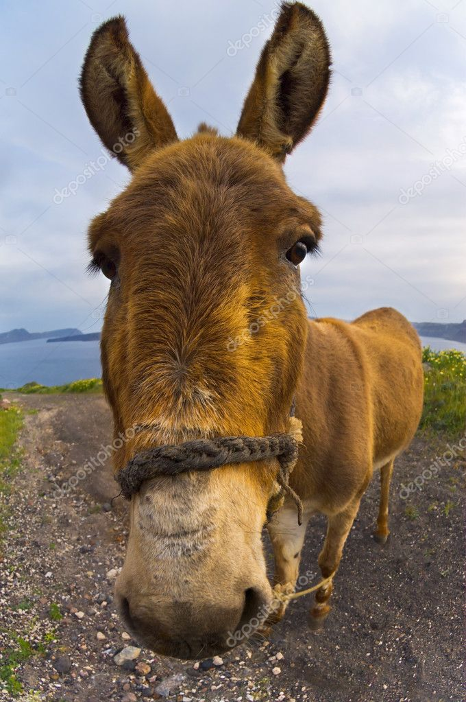 Image shows a donkey photographed with a wide angle lens	  Stock Photo #3424030