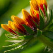 Stock Photo: Gaillardia aristata