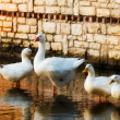 Family of geese - Stock Photo