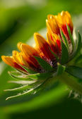 Gaillardia aristata — Foto Stock