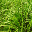 Tall green grass - Stock Photo