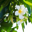 Plumeria - Foto Stock