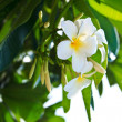 Plumeria - Lizenzfreies Foto