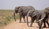 Elephants Crossing The Road — Stock Photo