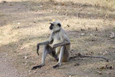 Common Langur — Zdjęcie stockowe