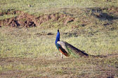 Peacock — Foto de Stock