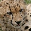 Cheeky Cheetah — Stockfoto