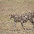 Cheetah On The Prowl - Stock Photo