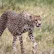Cheetah Walking, Tongue Out — Foto Stock