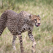 Cheetah Walking, Tongue Out - Stock Photo